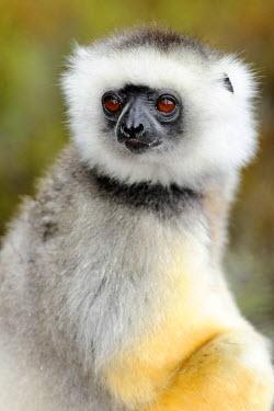 IBLSHU01711230 Portrait, Diademed Sifaka (Propithecus diadema), Madagascar, Africa