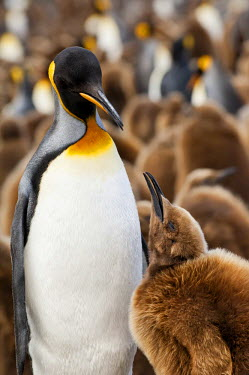 IBLGAB02233627 King penguin (Aptenodytes patagonicus) feeding a chick, St. Andrews Bay, South Georgia Island