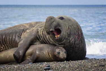 IBLGAB02234134 Southern Elephant Seals (Mirounga leonina) mating, St. Andrews Bay, South Georgia Island