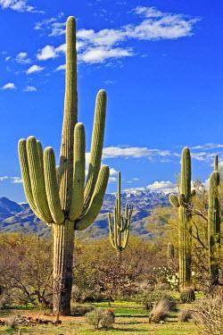INT00905487 USA, Arizona, Tucson, Desert landscape in spring at Saguraro National Park East, Saguaro National Park, Arizona,