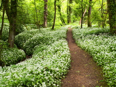 INT01097756 Great Britain, England, Knaresborough, Wild Garlic Flowers in Mackintosh Park in Spring Knaresborough North Yorkshire