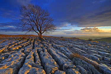 INT01131261 Great Britain, England, Near Malham, A solitary tree growing out of a limestone pavement on Malham Ings.