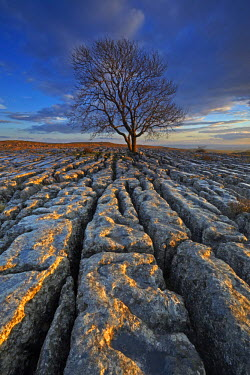 INT01131262 Great Britain, England, Near Malham, A solitary tree growing out of a limestone pavement on Malham Ings.