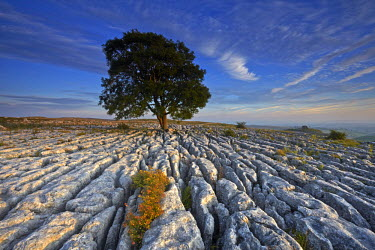 INT01131289 Great Britain, England, Near Malham, A solitary tree growing out of a limestone pavement on Malham Ings.