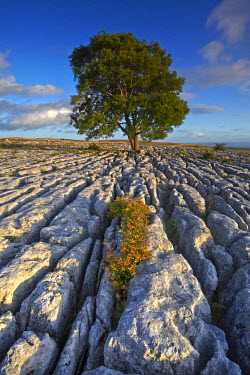 INT01131291 Great Britain, England, Near Malham, A solitary tree growing out of a limestone pavement on Malham Ings.