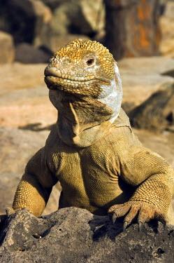 IBLGAB01094689 Santa Fe Land Iguana or Pale Iguana (Conolophus pallidus), Santa Fe Island, Galapagos Islands, UNESCO World Heritage Site, Ecuador, South America