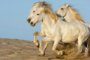 IBLGAB02292940 Camargue horses running on the beach, Bouches du Rhone, France