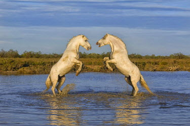 IBLGAB02333744 Camargue horses, stallions, fighting in the water, Bouches du Rhone, France