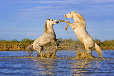 IBLGAB02333752 Camargue horses, stallions, fighting in the water, Bouches du Rhone, France