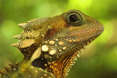 IBLGZS00267141 Boyd s Forest Dragon (Hypsilurus boydii), Mossman George, Daintree National Park, Queensland, Australia, Oceania