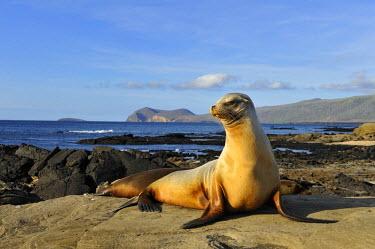 IBLSHU00983209 Puerto Egas Bay with Galapagos Sea Lion (Zalophus wollebaeki) at front, Santiago Island, Galapagos Islands, Ecuador, South America