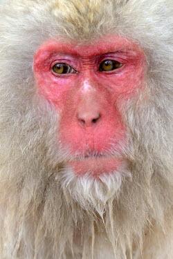 IBLSHU03085455 Japanese Macaque or Snow Monkey (Macaca fuscata), portrait, Affenpark Jigokudani, Nagano Prafektur, Japan