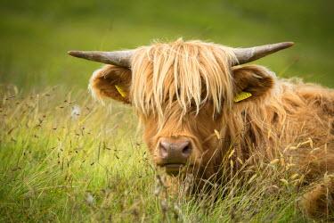 SCO34135AW Europe, United Kingdom, Scotland,Hebrides archipelago, Isle of Skye, Bos taurus, Highland cattle