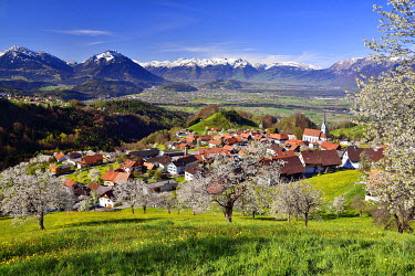 IBXDAB03916123 Tonscape of Fraxern with blooming cherry trees and views of the St. Gallen Rhine Valley, Fraxern, district of Feldkirch, Vorarlberg, Austria