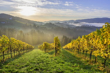IBXHAN03850928 Vineyard in the morning mist, Eichberg-Trautenburg, Styria, Austria