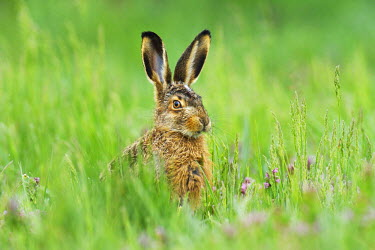 IBXSHU03894974 Young European Hare or Brown Hare (Lepus europaeus), in tall grass, Burgenland, Austria