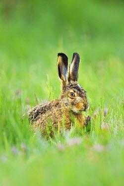 IBXSHU03894976 Young European Hare or Brown Hare (Lepus europaeus), feeding, Burgenland, Austria