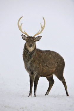IBXHAN01492393 Fallow Deer (Dama dama), captive, Upper Austria, Austria Europe