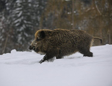 IBXHAN01492414 Wild boar (Sus scrofa), captive, Upper Austria, Austria