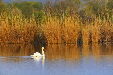 IBXHAN01595517 Mute Swan (Cygnus olor), Schoenau fishponds, Triestingtal valley, Lower Austria, Austria