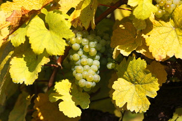 IBXMAN01779664 White grapes on grapevine, Wachau valley, Waldviertel region, Lower Austria, Austria