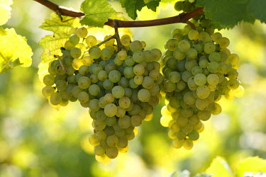 IBXMAN01014985 White grapes, Wachau, Lower Austria, Austria