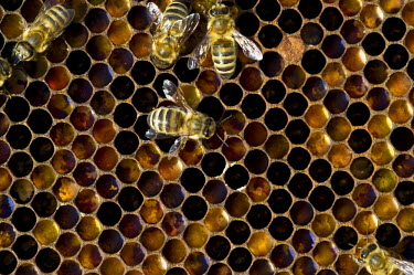 IBXDJS03667691 Honey Bees (Apis sp.) on a honeycomb, Germany