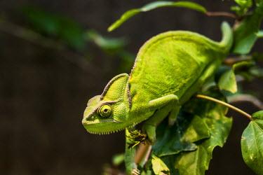 IBXDJS03705473 Yemen Chameleon or Veiled Chameleon (Chamaeleo calyptratus), Wilhelma Zoo and Botanical Garden, Stuttgart, Baden-Wurttemberg, Germany