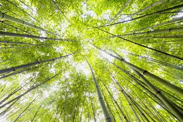 IBXDJS03823061 Bamboo (Bambus fargesia) grove, near Bad Krozingen, Baden-Wurttemberg, Germany