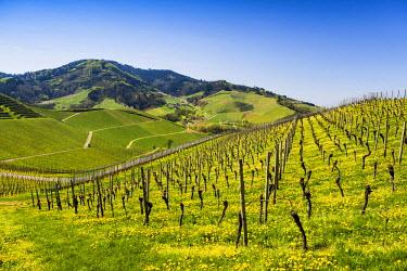 IBXDJS04301427 Vineyards in spring, Durbach, Ortenau, Black Forest, Baden-Wurttemberg, Germany