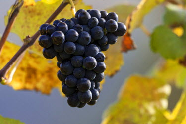 IBXHAL04016463 Red grapes, winegrowing, Schriesheim, Baden-Wurttemberg, Germany