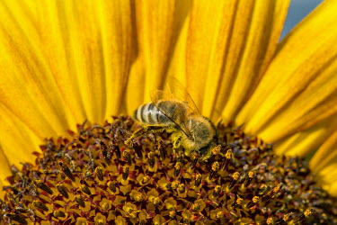 IBXOMK02355351 Western honey bee (Apis mellifera) perched on a sunflower (Helianthus annuus), detailed view of the blossom, Stuttgart, Baden-Wuerttemberg, Germany