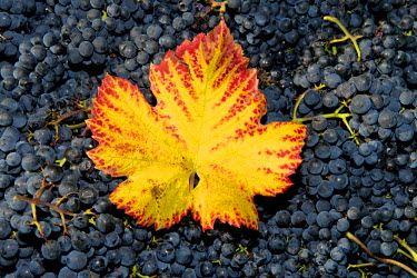 IBXOMK03871432 Vine leaf with autumn colours on grapes, Baden-Wurttemberg, Germany