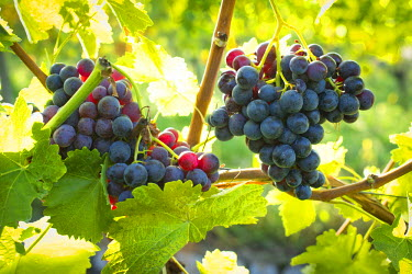IBXOMK03871461 Ripe grapes hanging on the vine, vineyard, Baden-Wurttemberg, Germany