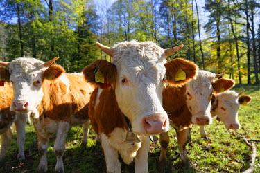 IBXMAN04054980 Calves, Lenggries, Isarwinkel, Upper Bavaria, Bavaria, Germany