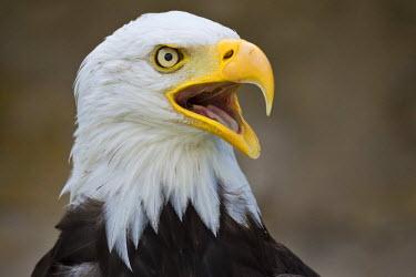 IBXOMK03961689 Bald Eagle (Haliaeetus leucocephalus), captive, Bavaria, Germany