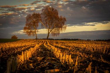 IBXSEI04097581 Harvested maize field with birch trees and a cloudy sky, blue hour, twilight, Mindelheim, Bavaria, Germany