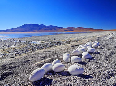 BOL8512AW Bolivia, Potosi Departmant, Sur Lipez Province, Eduardo Avaroa Andean Fauna National Reserve, Abandoned Flamingo Eggs on the shore of the Laguna Colorada.
