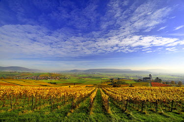 IBXDAB04017952 Vineyards in autumn with views of the Klettgau, cirrocumulus clouds in the sky, Oberhallau, Hallau, Klettgau, Canton of Schaffhausen, Switzerland