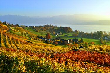 IBXDAB04283309 Vineyard overlooking Lake Zurich, Canton of Zurich, Switzerland