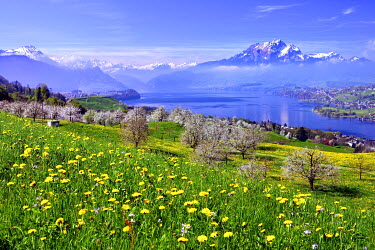 IBXDAB04374356 Blossoming cherry trees, Kussnacht overlooking Lake Lucerne, Mount Pilatus and Central Swiss Alps behind, Canton of Schwyz, Switzerland