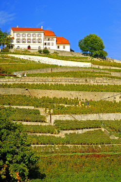 IBXGUF00144912 In the vineyards of Lavaux, Riviera Vaudoise, Vaud, Switzerland