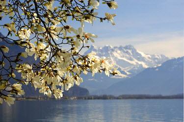 IBXGUF00312133 Blossoming magnolia at Lake Geneva near Montreux, Vaud, Switzerland