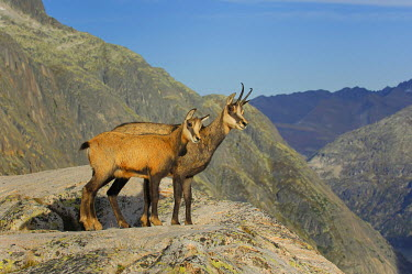 IBXHUW00149922 Adult and young chamois (Rupicapra rupicapra) standing on a ledge, Grimsel, Bern, Switzerland