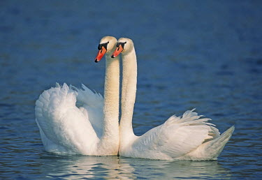 Pair of mute swans (Cygnus olor) in spring, Flachsee, Aargau, Switzerland
