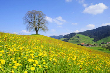 IBXSHU01921448 Lime tree (Tilia), solitary tree on a moraine with flowering dandelions at front, Hirzel, Switzerland