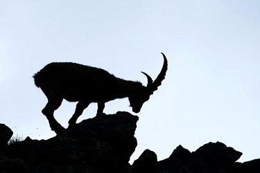 IBXSHU03572051 Alpine Ibex (Capra ibex), silhouette, Bernese Oberland, Canton of Bern, Switzerland