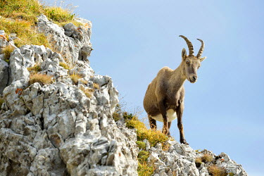 IBXSHU03744075 Alpine Ibex or Steinbock (Capra ibex) standing on a ledge, Canton of Lucerne, Switzerland