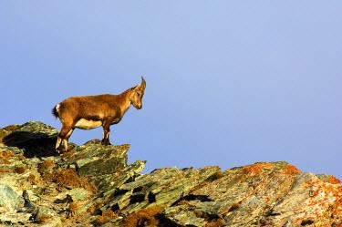 IBXSHU03838164 Young Alpine Ibex (Capra ibex), Canton of Valais, Switzerland