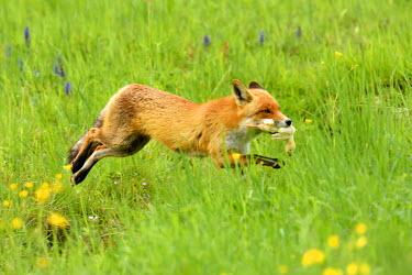 IBXSHU04123879 Red fox (Vulpes vulpes) with prey running across meadow, Canton of Zurich, Switzerland